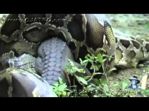 Anaconda giante ingoia un coccodrillo intero
