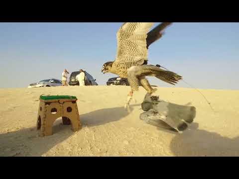 Falconry In Dubai 2017/2018 - اتفرج تيوب