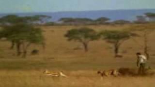 チーターに追われた鹿を助けるおっさん