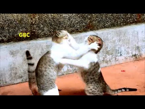 Funny cat boxing...Lol