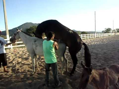 Garanhao mangalarga cruzando egua ( herdade x favacho )