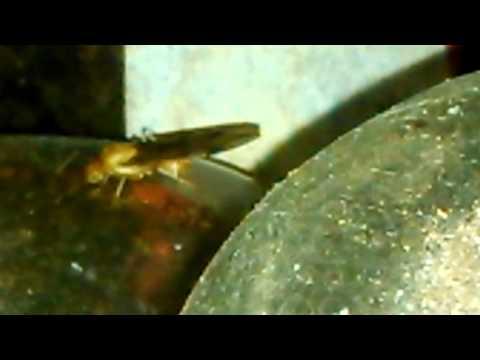 Calon ratu semut rangrang meninggalkan koloni