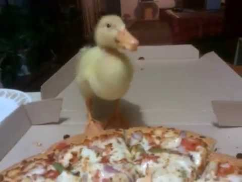 Duck eating Pizza Hut Pizza