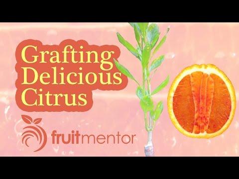 Grafting Citrus