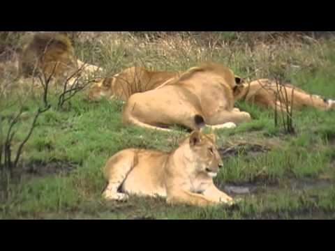 Lions in the wild, Masai Mara, Kenya
