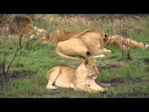 Lions in the wild, Masai Mara, Kenya