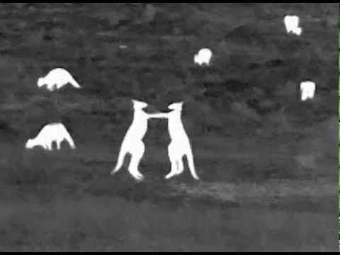 Kangaroos Boxing in Thermal Vision