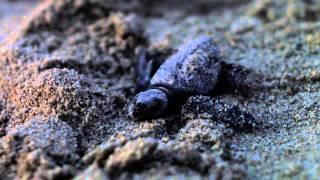 اتفرج .. هجرة السلاحف البحرية نحو المحيط