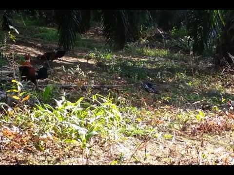 ayam hutan pikit king