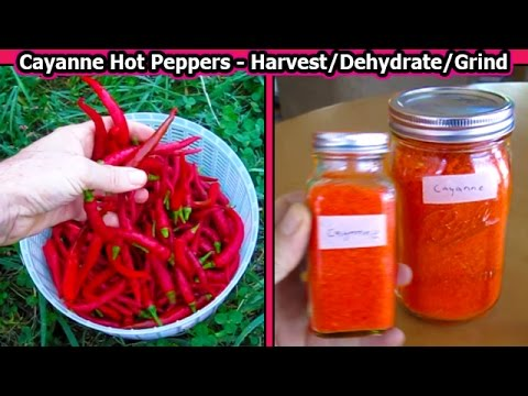 Cayanne Hot Peppers DEHYDRATING & Grinding into Spice habanero ghost chili