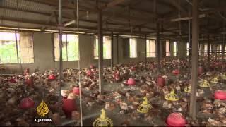 Nigeria hunts against illegal imports of frozen chicken - ALJAZEERAENGLISH