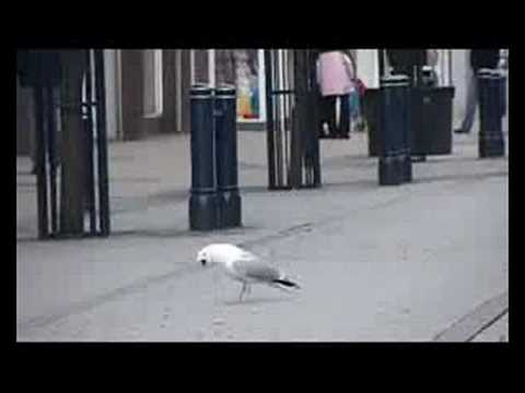 Seagull attacks