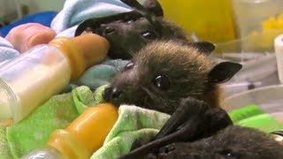 بالصور والفيديو.. عيادة أسترالية تتبنى «يتامى الخفافيش»