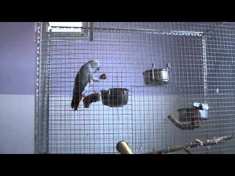 Papagal vorbitor Jako