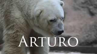 Murió en Mendoza el Oso polar Arturo