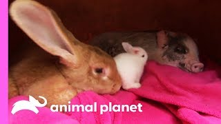 An Unexpected Friendship Between a Rabbit and a Micro Pig! | Too Cute! - ANIMALPLANETTV