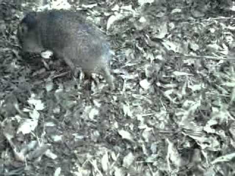 O ataque de um porco do mato o caititu muito feroz