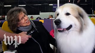 Meet the champions of the Westminster Dog Show - WASHINGTONPOST
