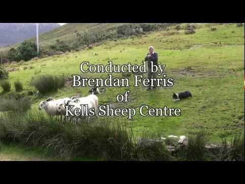 Brilliant Sheep Herding Demonstration Using Border Collies