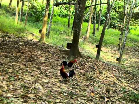 Pikat Ayam Hutan Jengka Sembung #5