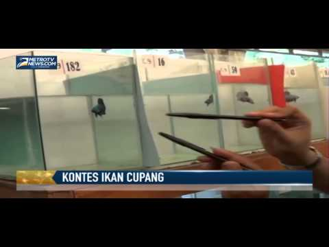 Kontes Ikan Cupang Tingkat Nasional