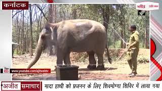 video : Female Elephant को प्रजनन के लिए Shivamogga शिविर में लाया गया