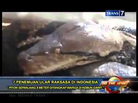 new on the spot   7 penangkapan ular raksasa di indonesia di kebun sawit