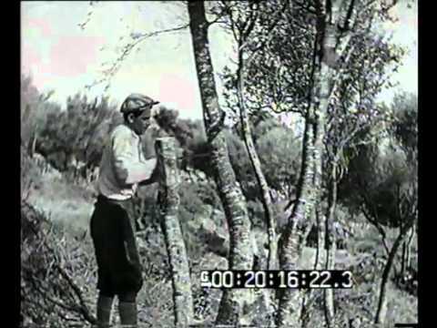 Innesto di olivi selvatici o olivastri