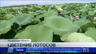 Лотос расцвел в Атырауской области раньше срока