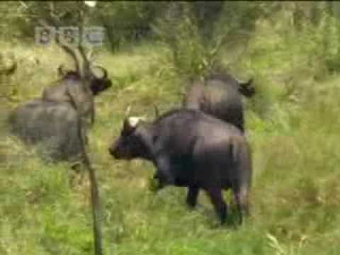 Lions vs buffalo BBC wildlife