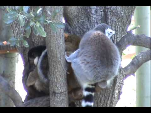Mammals of the World: Ring-tailed Lemur