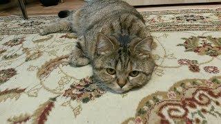 Тигровый кот Барсик боксёр.