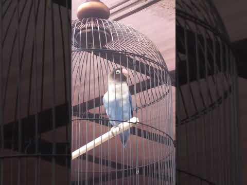 lovebird siti jenar