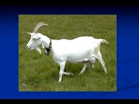 Curso de criação de cabras