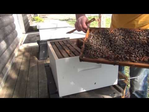 Beekeeping : Let's See If The Split Is Raising A Queen