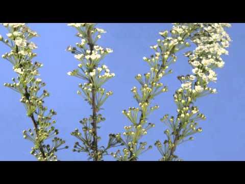 Spiraea flower time lapse