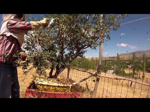 Olukman Köyü 2013 yılı, Arının Oğul verme videosu