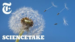 How a Vortex Helps Dandelions Fly | ScienceTake - THENEWYORKTIMES