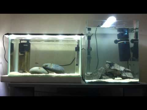 How to care for African Cichlid Fry