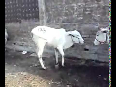 bakra eid qurbani muzaffarpur india mp4 SD