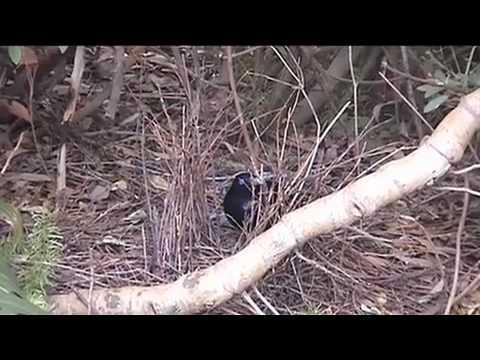 AUSTRALIAN BOWER BIRD