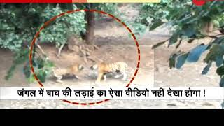 Viral Video: Two tigers fighting in Ranthambore National Park - ZEENEWS