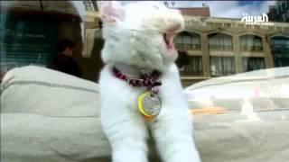 فيديو| دراسة أمريكية: تربية القطط تسبب «العمى»