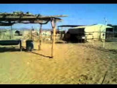 بحر الاحلام الحصان والفحل اصيل حصان واهو