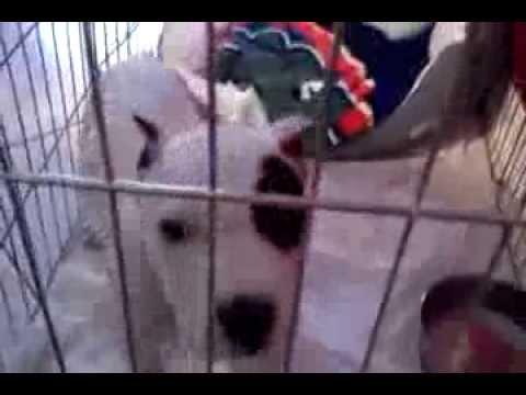 Tyson pitbull ear crop