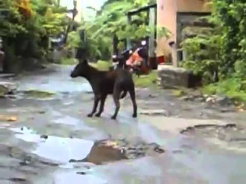 Dog Cruelty in Bali Indonesia warning extreme Graphic 