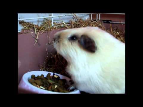 Guinea pig neutering / castration : Casper September 2012