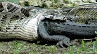 بالفيديو والصور.. الأشعة السينية تكشف وجود تمساح بالغ داخل معدة ثعبان
