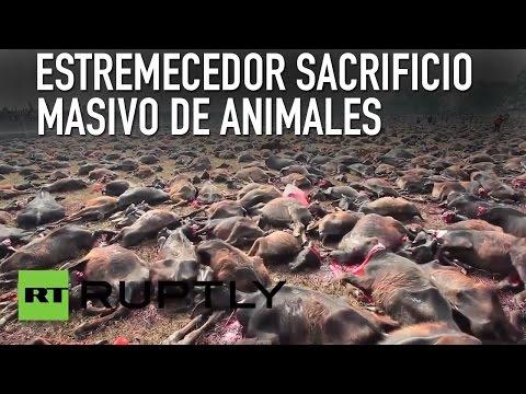 Estremecedor sacrificio masivo de animales en honor a una diosa en Nepal