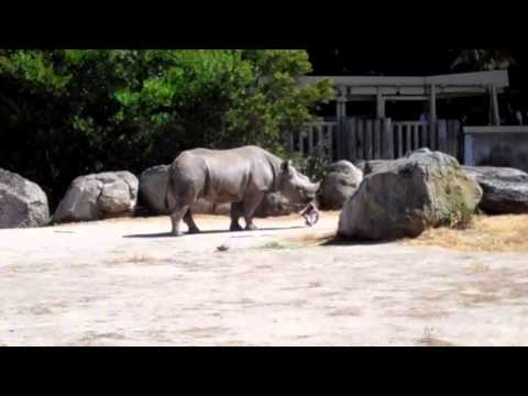 SF Zoo: Boone the Rhino eats 49ers cardboard box, visits Alex Boone